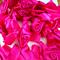 Large Hot Pink Ribbon Rosettes x 15