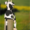 Stuffed Cow Pattern PDF Sewing Pattern for Toy Cow - Cleo the Cow