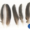Spotted Guinea Fowl Feathers - 15 Pack