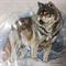 Paper Tole Prints - Wolf